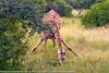 Giraffa camelopardalis - Girafe - Giraffe 04.jpg