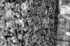 Selective Memory (Dan Cook Archived (dan-scape.co.uk)) Tags: mountains tree texture landscape scotland highlands aperture sony bark dancook danscape nex7 e18200mmf3563