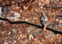 "Red Tailed Hawk on the Diag • <a style=""font-size:0.8em;"" href=""http://www.flickr.com/photos/30765416@N06/11393091363/"" target=""_blank"">View on Flickr</a>"