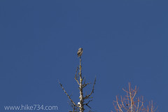 """Northern Hawk Owl • <a style=""""font-size:0.8em;"""" href=""""http://www.flickr.com/photos/63501323@N07/11474945744/"""" target=""""_blank"""">View on Flickr</a>"""