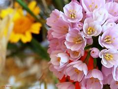 Fiorellini rosa... (lorybrown) Tags: brown rosa natura bouquet lory amore bari fiorellini