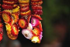 Pinas 715 (OhanaKEG) Tags: christmas star hawaii philippines sofa honolulu lantern parol pasko malasadas everlasting everlastingflower pundakit kalanianaole pinoychristmas philippineparol