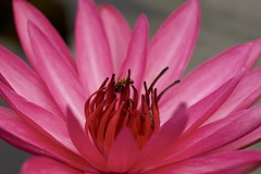 Pink water lily (billcoo) Tags: plant flower macro bokeh explore