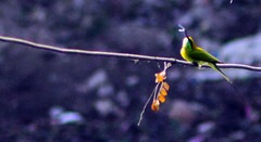 Green Bee Eater (Merops Orientalis) (MithuMNSabah) Tags: green bird nature birds forest eating wildlife hunting bee bangladesh hunt meropsorientalis eater greenbeeeater merops greenbird beautifulbird orientalis hunterbird ilobsterit
