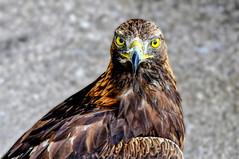 (the-father) Tags: eagle blinkagain blinksuperstars