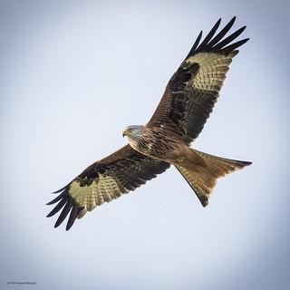Got my beady eye on you - Red Kite (Milvus milvus)