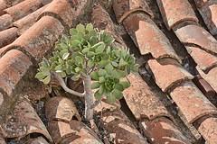 Tejeda roof (Geoff Cooke: www.geoffs-trains.com) Tags: grancanaria spain aeonium tejeda