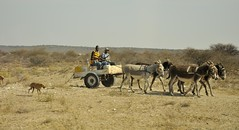 Transportation in Botswana (Pe_Wu) Tags: people horse transport donkey transportation botswana