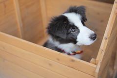 maro130929 (kanekomimi) Tags: family dog maro