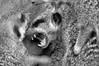 Meerkat B-W