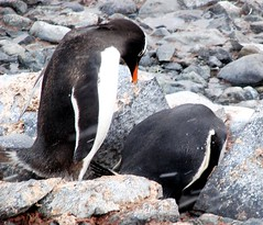 Turn that egg carefully (ericy202) Tags: penguin gentoo december antarctica 2006 wildpenguin