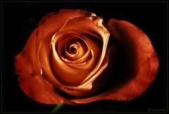 red rose (P.Hcherl) Tags: red flower macro rose 50mm nikon blossom nikkor makro blte d800 zwischenringe mygearandme flickrstruereflection1