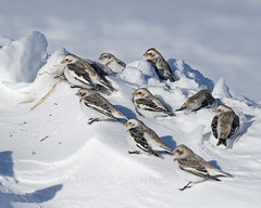 Snow Buntings (T-Gauthier) Tags: winter snow nature birds birdwatching bunting winterbirds snowbunting