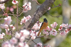 daurian redstart with plum blossoms (snowshoe hare*(catching up)) Tags: flowers bird botanicalgarden  plumblossoms japaneseapricot daurianredstart   dsc8853