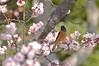 daurian redstart with plum blossoms (snowshoe hare*) Tags: flowers bird botanicalgarden 梅 plumblossoms japaneseapricot daurianredstart ジョウビタキ 豊後梅 dsc8853 海の中道海浜公園