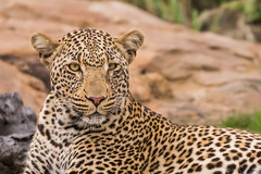 Battle scars - EXPLORED (CMich5) Tags: africa travel animal animals fauna southafrica mammal nikon fb wildlife leopard 500 mpumalanga kruger d600 thetimbavati
