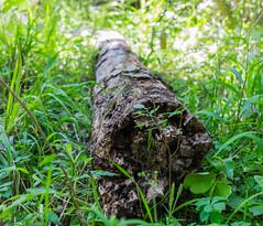 Mutilated tree... (Jassem bin Nasser) Tags: park flowers tree green beautiful grass fuji state bend fujifilm brazos        xt1