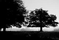 Les arbres (M6NL) Tags: trees backlight arbres leicam6 ilfordfp4 35mmsummicron