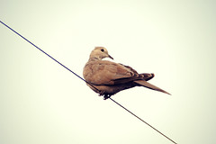Pigeon (*Shweta.P*) Tags: morning india bird beautiful birds photography pigeon peaceful