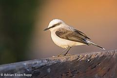 Masked Water-Tyrant, lavadeira-mascarada (eisenrupp) Tags: minas gerais birding aves da brazilian cerrado serra canastra merganser patomergulhão