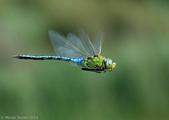 Anax empereur (Anax imperator) (zogt2000 (No Video)) Tags: dragonfly bokeh bretagne libellule anaximperator anaxempereur plomeur douarbrioloch