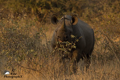 Curious Black Rhino (Wild PhotographiX) Tags: africa rhino blackrhino nashorn
