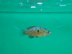 American Flagfish (#RawNigga Indahouse) Tags: usa pet fish home aquarium us flag hobby fisch fishtank american hardy freshwater fische killifish flagfish