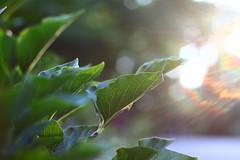 IMG_7198 (nice leaf detail & comp & lighting) (TehOblivious) Tags: life lighting light sunset sky sun macro green nature leaves closeup clouds canon 50mm leaf bokeh testing f18 technicolor jpeg backlighting 2015 nickhall notraw uselesstags bokehporn cinestyle 700d t5i tehoblivious