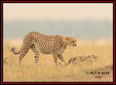 FEMALE CHEETAH WITH HER CUB (Acinonyx jubatus).....MASAI MARA....SEPT 2015. (M Z Malik) Tags: nikon d800e 400mmf28gedvr masaimara kws exoticafricanwildlife exoticafricancats flickrbigcats cheetahfamily cheetah ngc npc