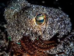 PA121911 (Jeannot Kuenzel) Tags: jeannotkuenzel jeannot kuenzel wwwjk4unet jk4u malta scuba under water underwater diving photography macro supermacro olympus epl5 zen port leica dg macroelmarit 45mm f28 asph ois inon z240 240z ucl165 s2000 moods aliensofthesea aliensofthedeepblue alien deep blue mediterranean sea maltaunderwater maltaunderwatermacro maltaunderwaterphotography bestmaltaunderwaterpictures maltamacro underwaterphotography maltascubadiving supermacrophotography underwatersupermacro underwateralien underwaterworld underwatercreature underwatermacro extrememacro superextrememacro
