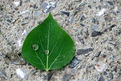 IMG_4313 (danlalan7) Tags: eau goutedeau dtail feuille plante vert
