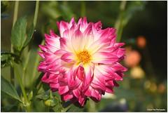 Dahlie (mayflower31) Tags: blume flower garten