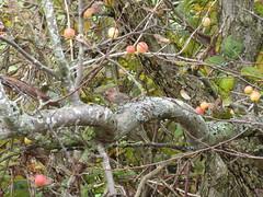 Fruit for a Finch (misiekmintus) Tags: vancouver bc britishcolumbia canada birds birding bird birdwatching pacificnorthwest nature natur naturaleza northwest boundarybay delta housefinch haemorhousmexicanus
