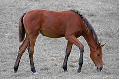 Foal (winchman2010) Tags: foal horse pferd fohlen