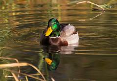 Solo mallard  - EXPLORED (Oct 31, 2016) (JD~PHOTOGRAPHY) Tags: mallard duck mallardduck maleduck wild wildanimal waterfowl wildlife northamericanwildlife bird lakeontario nature