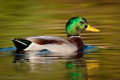 Mallard Drake (Matt F.) Tags: bird mallard duck