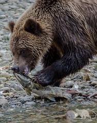 Feeding Grizzly (fascinationwildlife) Tags: animal mammal grizzly bear br braunbr wild wildlife nature natur bute inlet river fall autumn fish salmon juvenile kanada canada bc british columbia predator cute