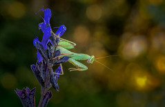 Winter is Coming (Kathy Macpherson Baca) Tags: animal animals mantis africanmantis autumn fall bokeh macro praying insect planet earth wildlife world nature predator green