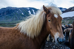 SHL_4652 copy (Shlomi's Pic) Tags: addtoonepic איסלנד בעליחיים טבע טיולחול סוס