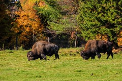 Bison in the Meadow (wordsmith_Cornwall) Tags: bison omegapark parcomega montebelloquebec