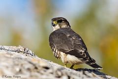 Merlin (Karen 571) Tags: bird falcon birdofprey merlin falcocolumbarius ottawaon