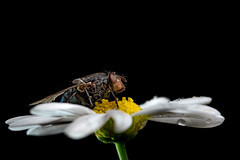 when the night comes (marcello.machelli) Tags: rosso fly mosca nikond810 sigmaapomacro15028 sigma nikon macro drops rain goccie pioggia rest riposo night notte detail dettagli insetto insect small