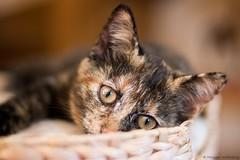 Maya (Morgane_W) Tags: chat cat animal canon80d