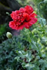 (jo.alvarezv) Tags: chile campochileno chileancountry campo country flor flower florroja redflower amapola poppy amapolaroja redpoppy