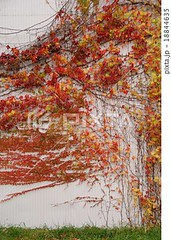 18844635 (finalistJPN) Tags: coloredivy ivywall autumncolors fallseason autumnseason autumnleaves nationalgeographic discoverychannel visitjapan naturephoto japanguide discoverjapan stockphotos availablenow
