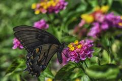 Butterfly_SAF0637-1 (sara97) Tags: butterfly copyright2016saraannefinke flyinginsect insect missouri nature outdoors photobysaraannefinke pollinator saintlouis towergerovepark urbanpark copyright2016saraannefinke