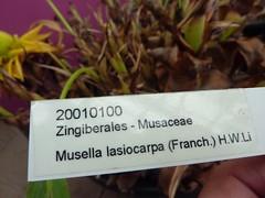 Musella lasiocarpa 2 (heinvanwinkel) Tags: 2013 bloemvandedag commelinids euphyllophyta hortus leiden liliopsida maart magnoliophyta mesangiospermae musaacuminata musaceae nederland petrosaviidae spermatophyta tracheophyta zingiberales