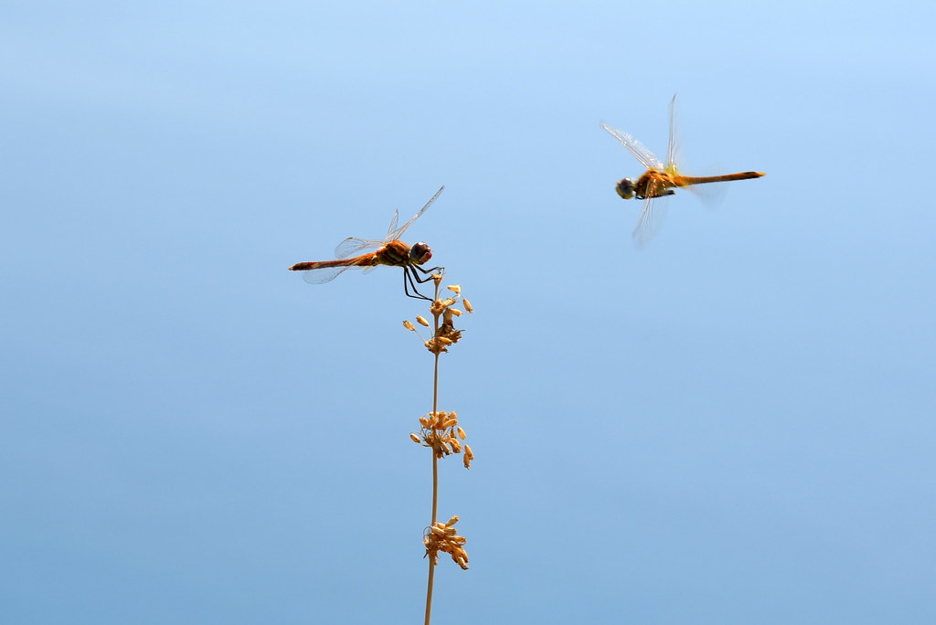 Elicottero Libellula : The world s best photos of dragonfly and volo flickr