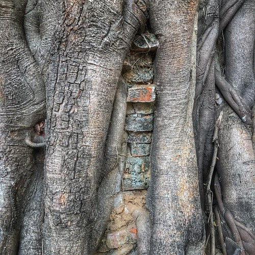 Banyan tree consumes a wall