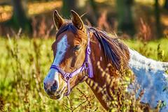Sonniger Tag auf der Weide - sunny day on the paddock (ralfkai41) Tags: paddock portrait haustier nature koppel weide portrt outdoor tier horse natur pferd